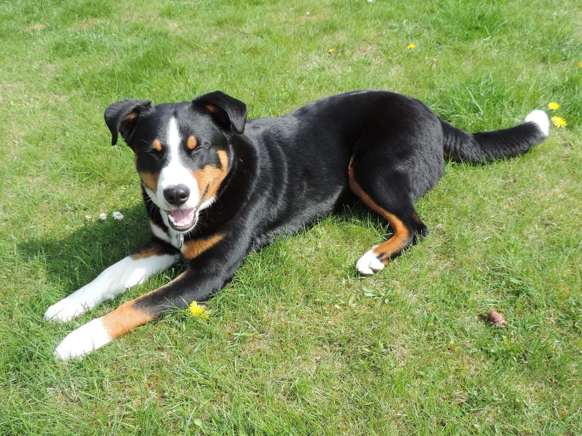 Appenzeller Sennenhund Erziehung