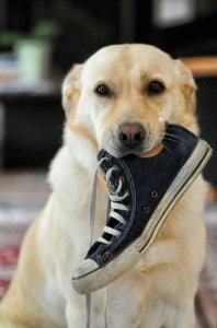 Bild von Hund mit Schuh