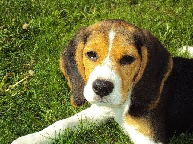 Foto von Beagle (Beagle Erziehung)