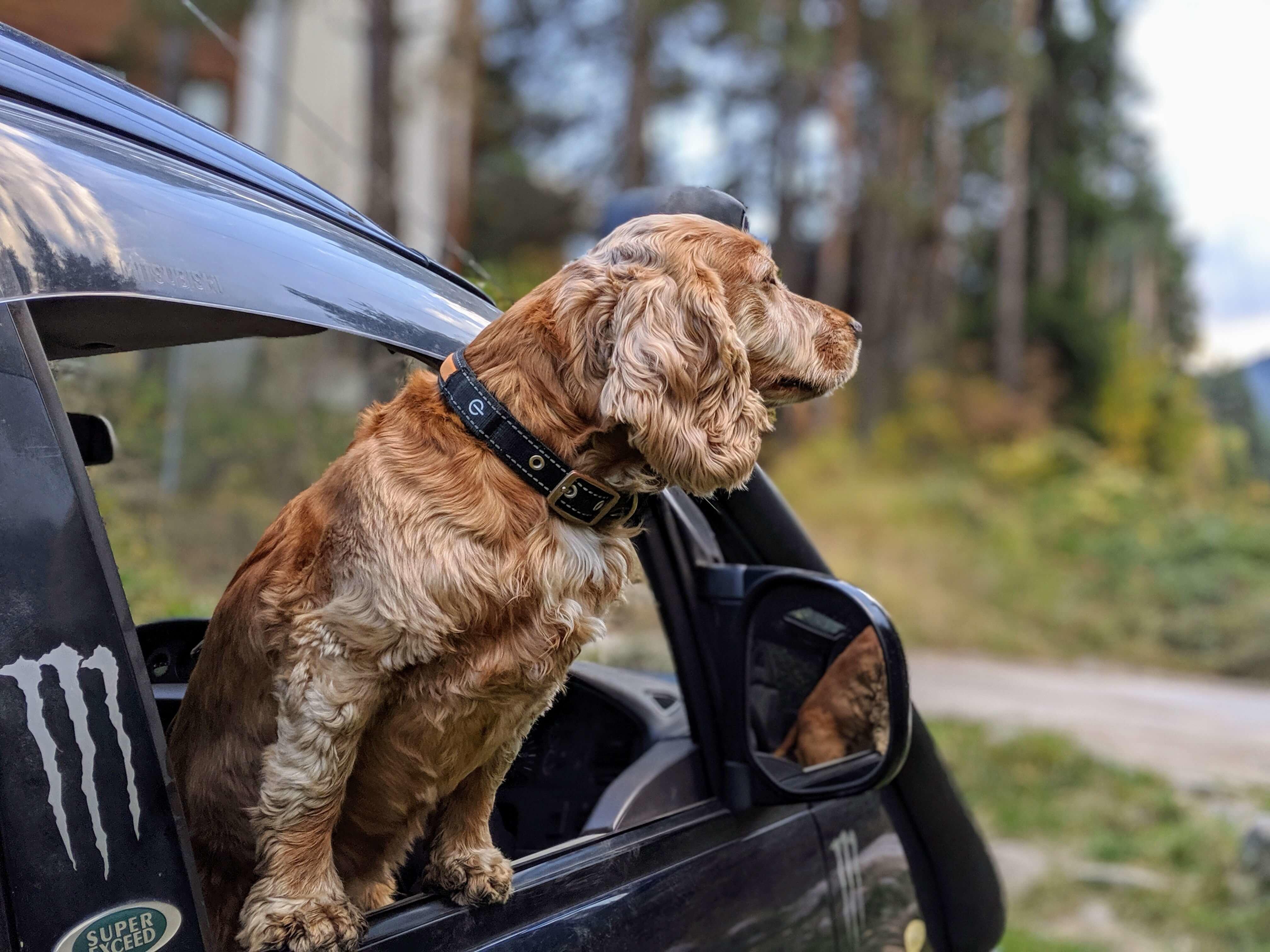 hund schaut aus auto