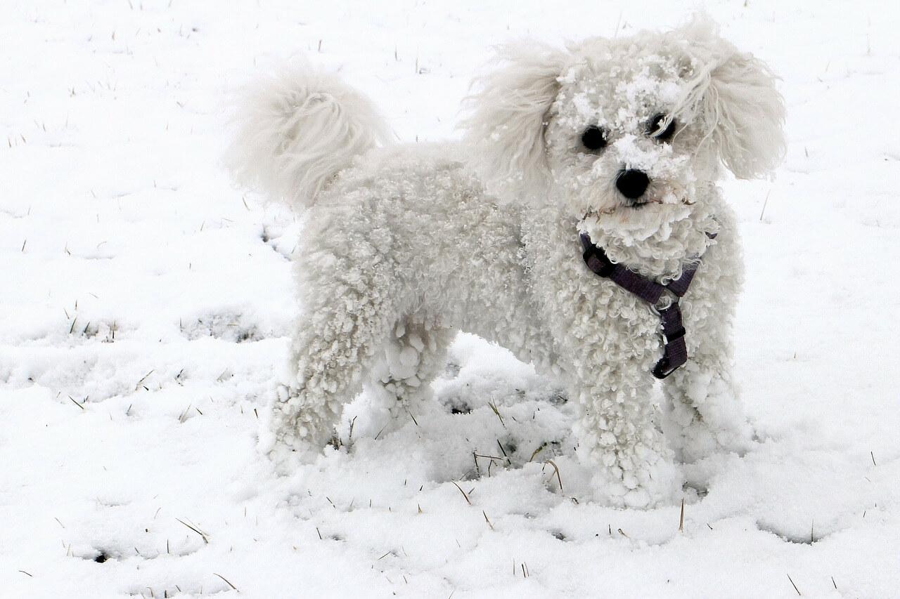 Bichon Frise hund bild