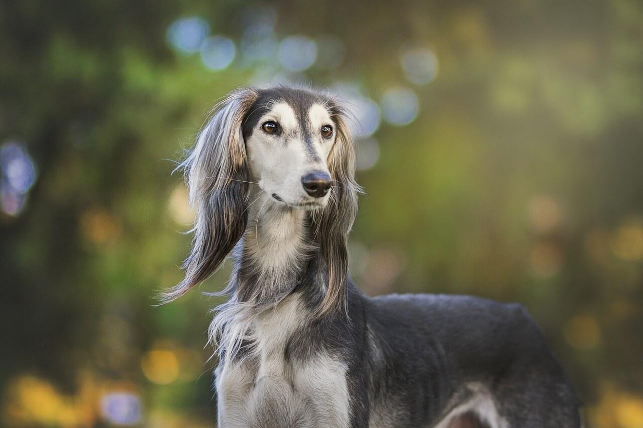 Saluki Hund bild (Hund der nicht haart)