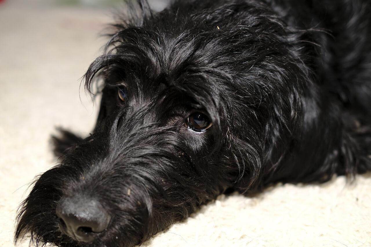 hunderassen die nicht haaren und stinken bersicht beliebter hunde. Black Bedroom Furniture Sets. Home Design Ideas