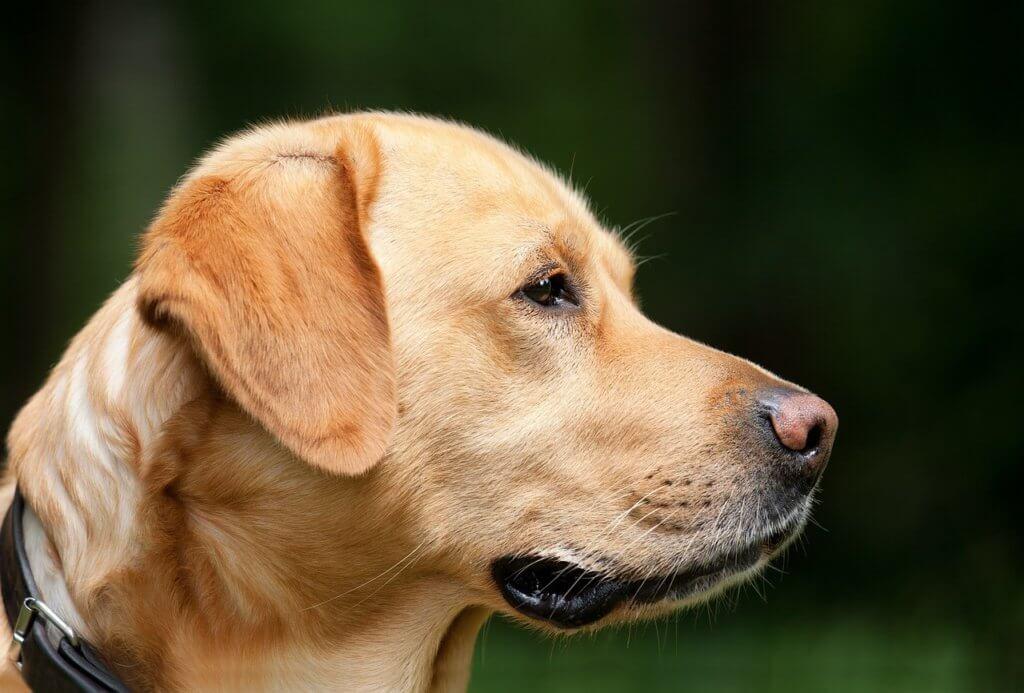 labrador erziehung bild