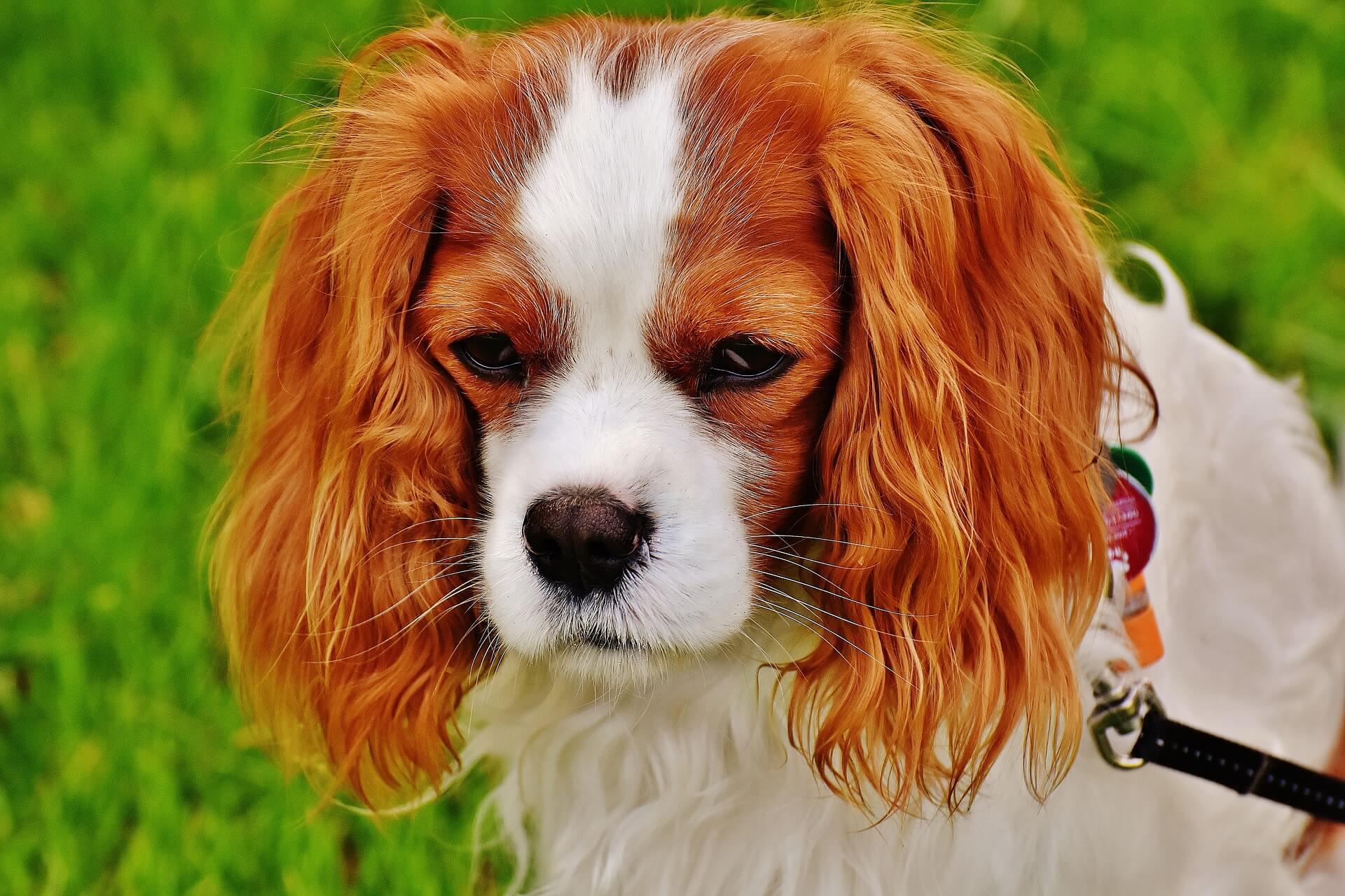 Hunde, die nicht haaren und bellen