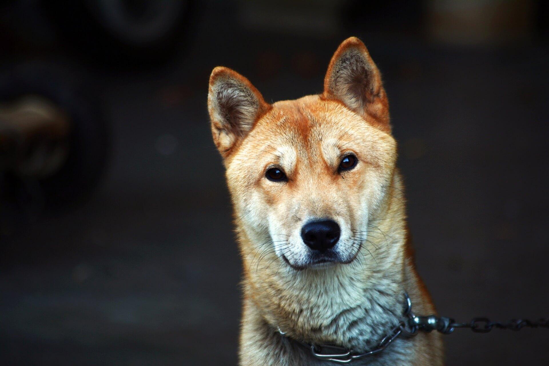 Koreanischer Jindo-Hund