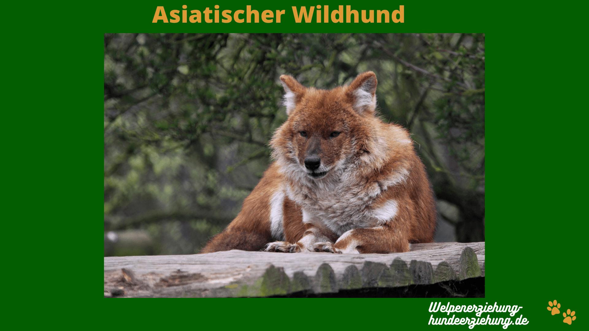 Asiatischer Wildhund