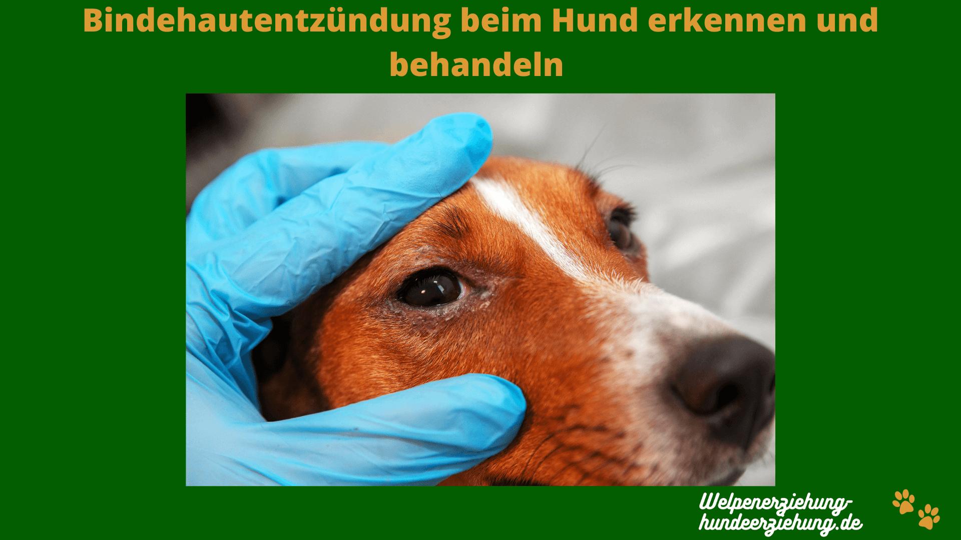 Bindehautentzündung Hund